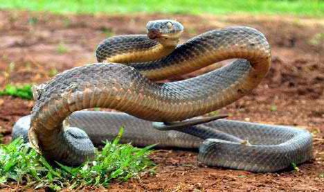 strupene živali Avstralija