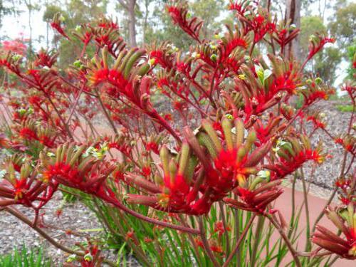 rośliny australia zdjęcie
