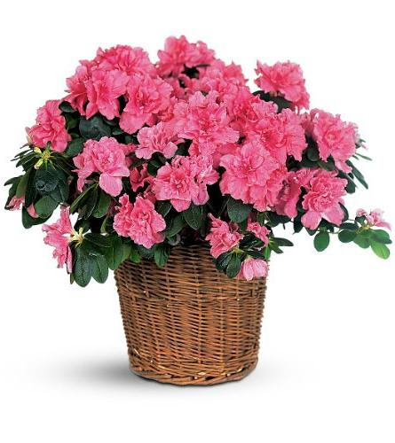 kwiat azalii