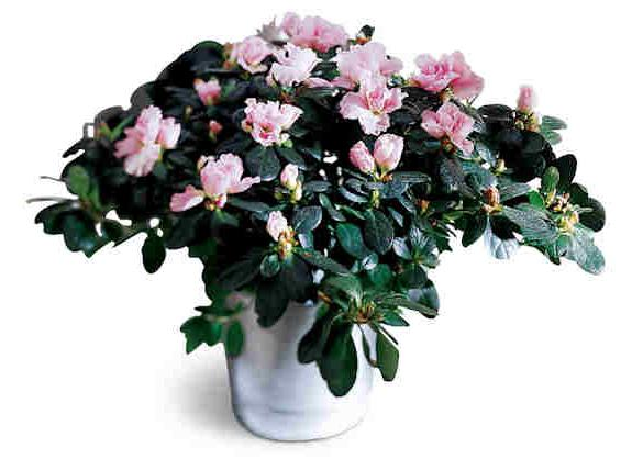 kwiat azalii, jak dbać