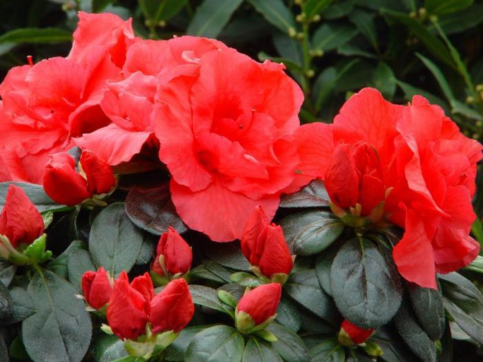 kryte kwiaty azalii