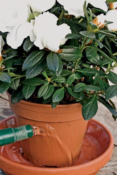 jak dbać o kwiaty azalia