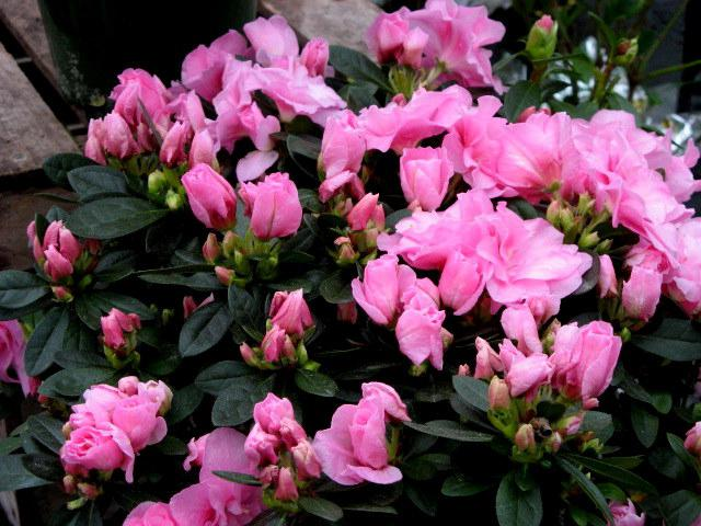 sklep z kwiatami Azalia