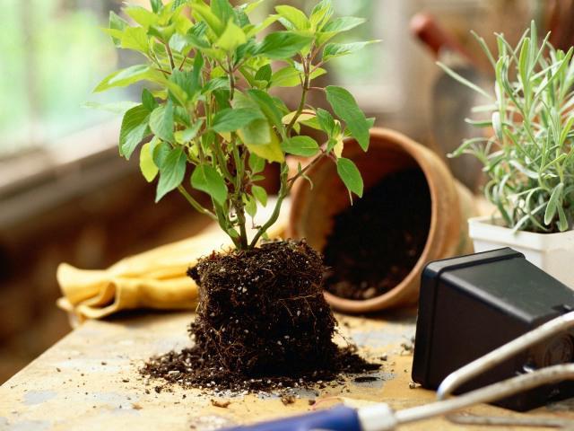 jak dbać o kwiat azalii