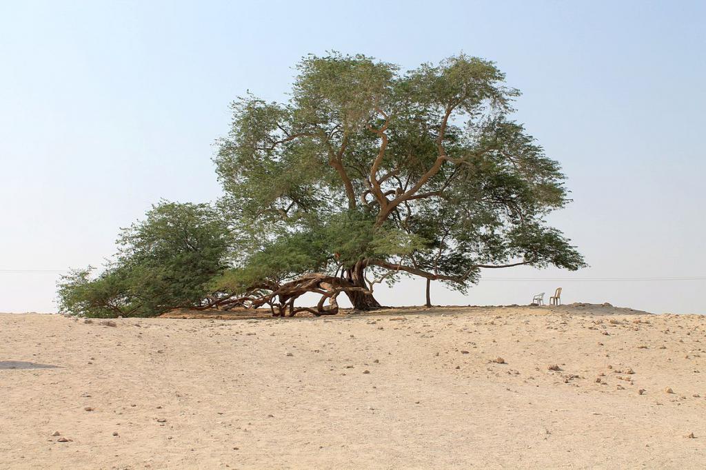 Un albero che ha più di 400 anni