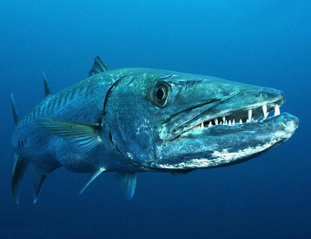 Grande barracuda