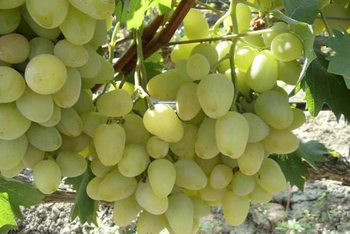 отглеждане на грозде