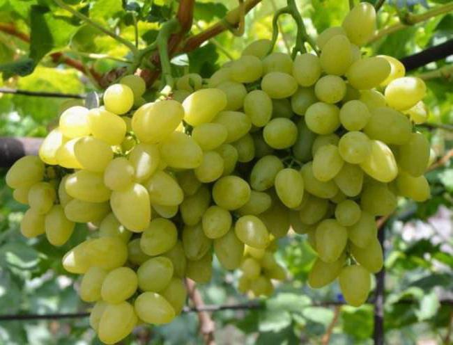 грозде бажена засаждане