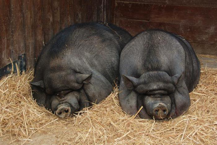 perle pred svinjama ne bacajte