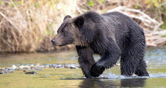 Orso-mangiatore  Che cosa è pericoloso rod-bear? Orsi in natura