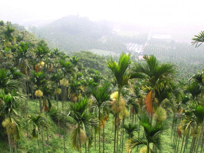 palma betel