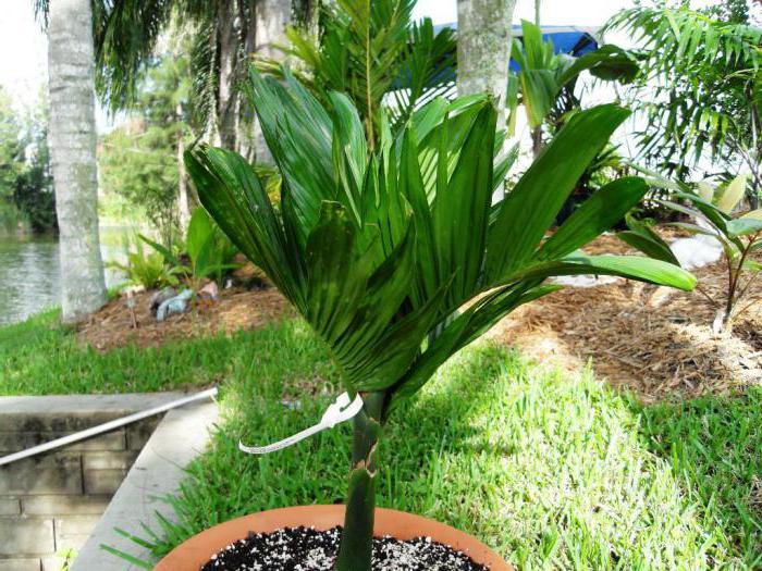 tanka palma betel