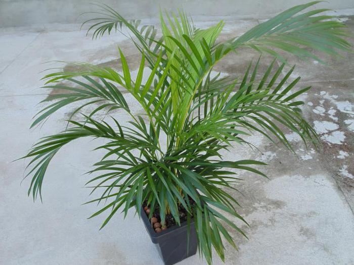 betel palm ali areca catechu