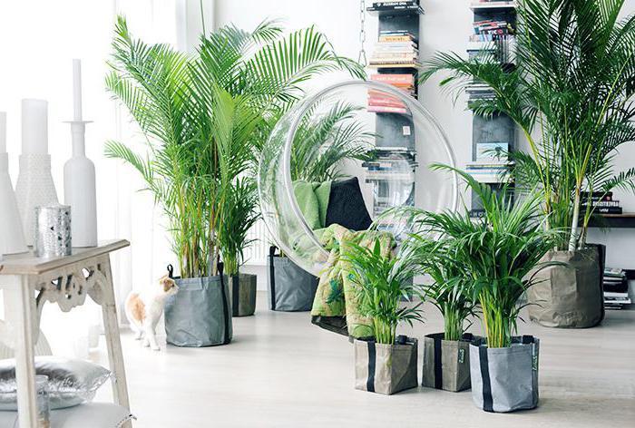 rastočih palme betel doma