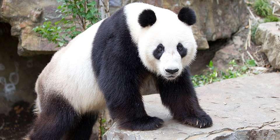 Velika panda živi u Kini