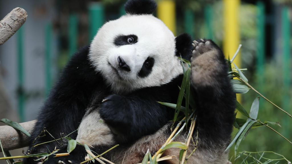Velika Panda - Medvjed