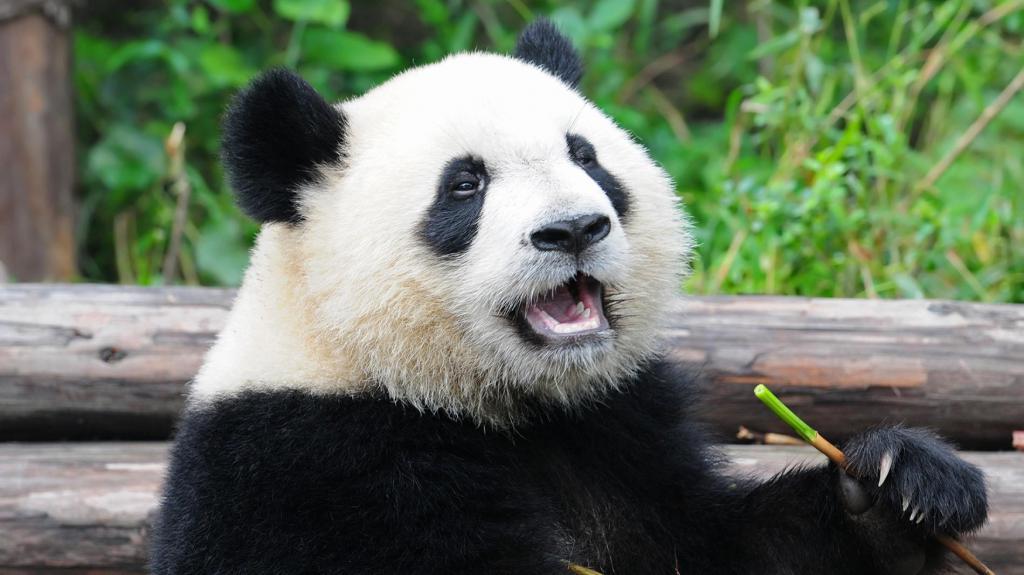 Opis velike pande