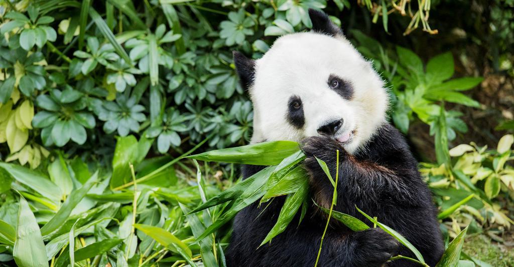 Velika Panda jede bambus