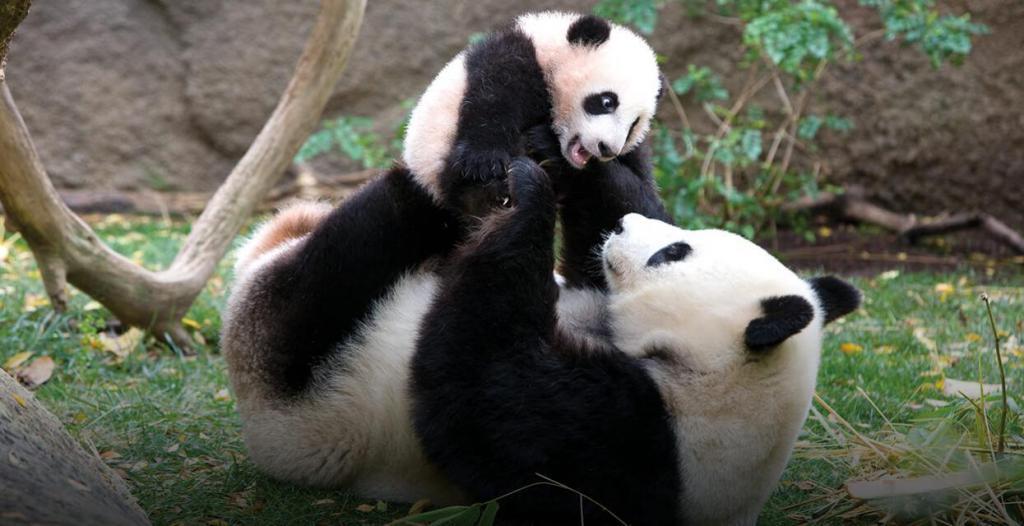 Velika panda s mladuncem