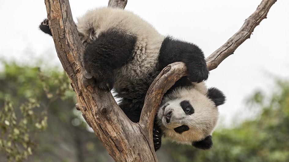 Velika panda na drvetu
