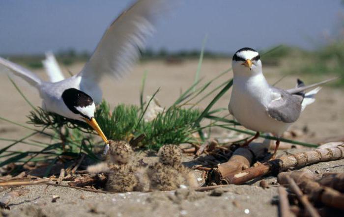Opis wspólnego ptaka z rodziny rybitwy