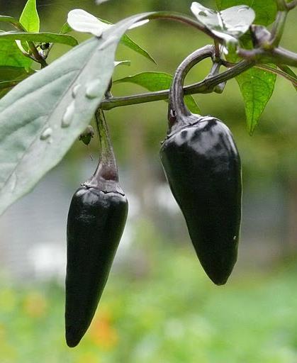 црна шећерна паприка