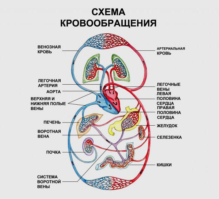 inervace srdečního extrakardiálního a intracardiálního nervového plexu