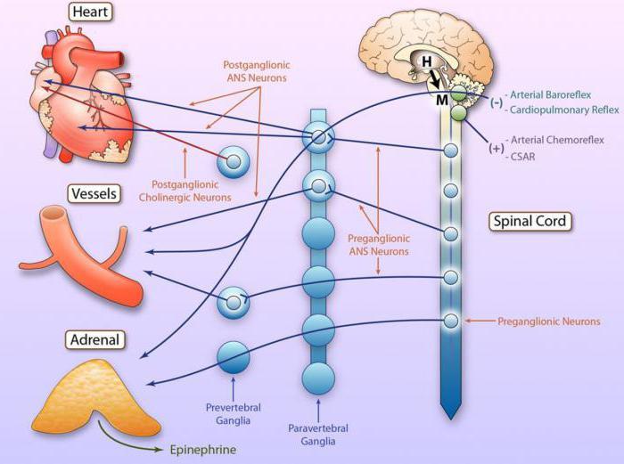 inervace fyziologie srdce