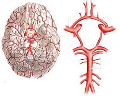 dovod krvi u mozak