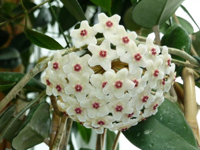 вътрешно цвете с червени цветя