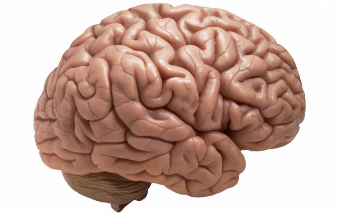 главних делова мозга