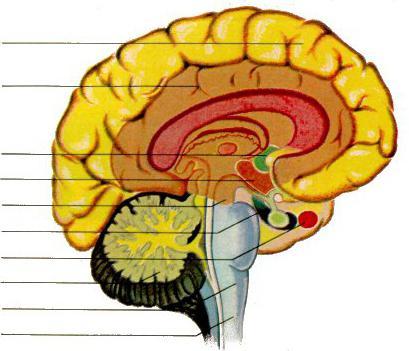 структура и функције мозга