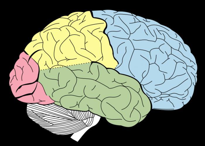 структура људског мозга