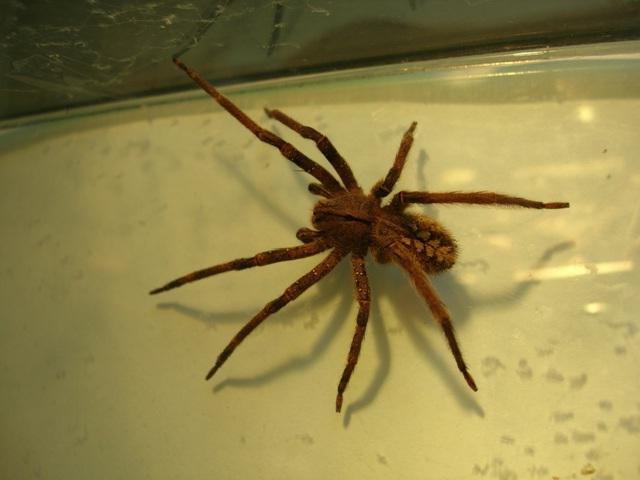 nejnebezpečnějšího pavouka na světě