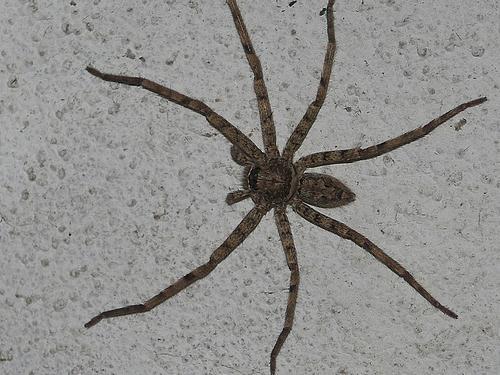 nejvíce jedovatý pavouk na světě