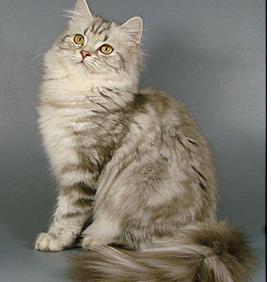 Britanske dugodlake mačke