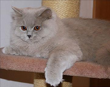britanska dugodlaka mačka fotografija