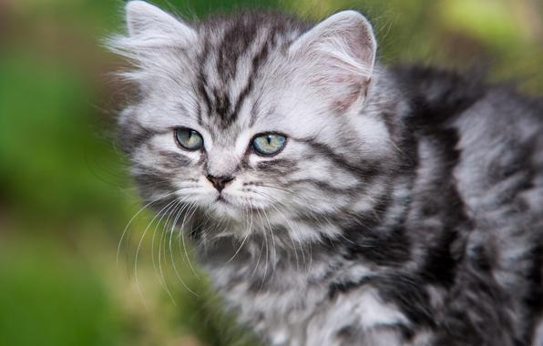 mačka uzgojna britanska dugodlaka fotografija