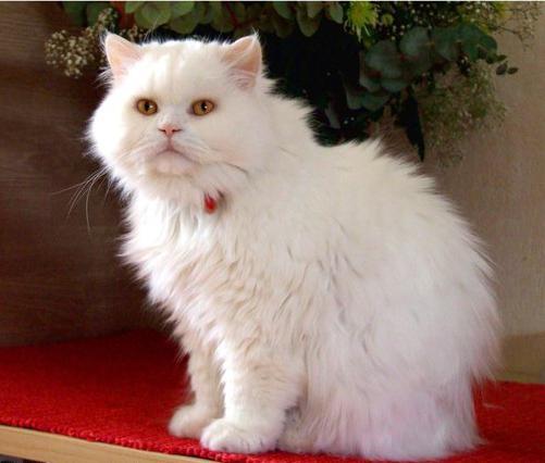 Britanske duge kose ušne mačke