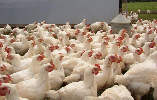 polli da carne di pollo