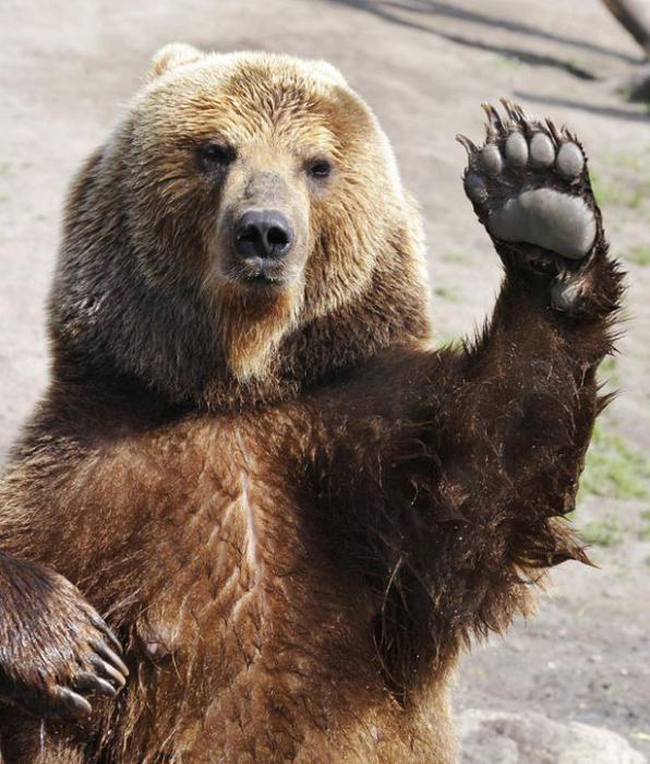 смеђи медведи