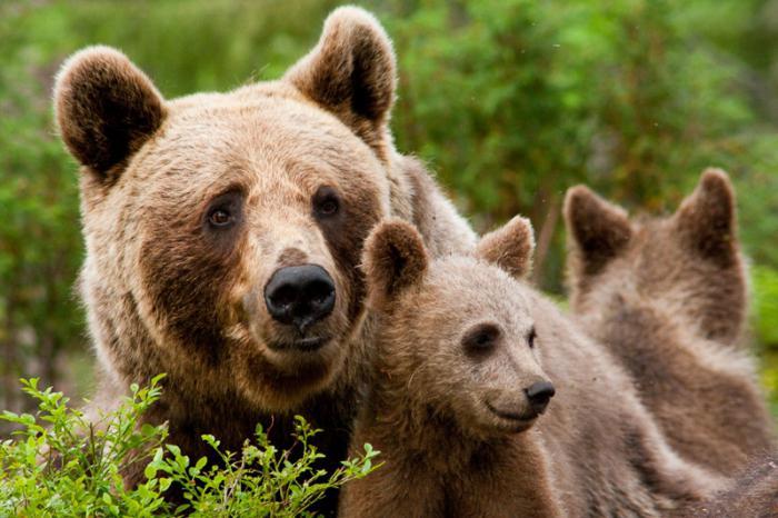 quanto vive un orso bruno