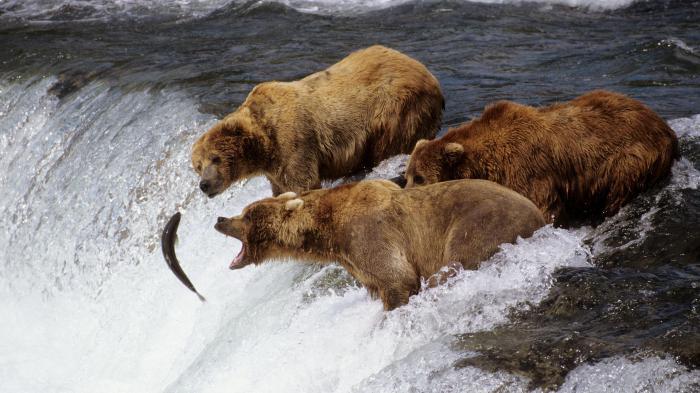 опис смеђег медведа