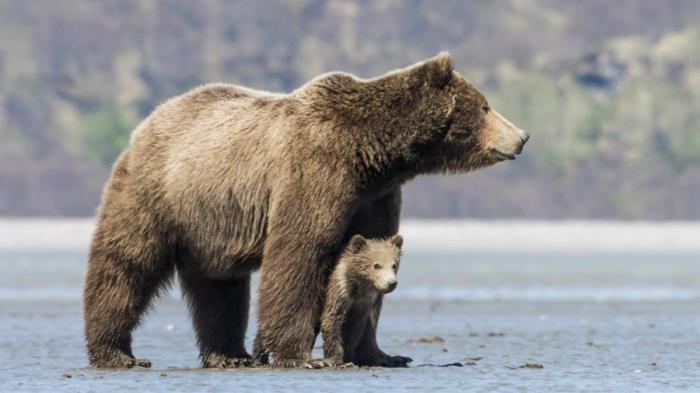 смеђи медвед у природи