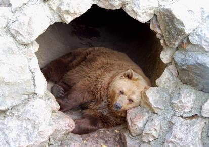 la vita degli orsi bruni