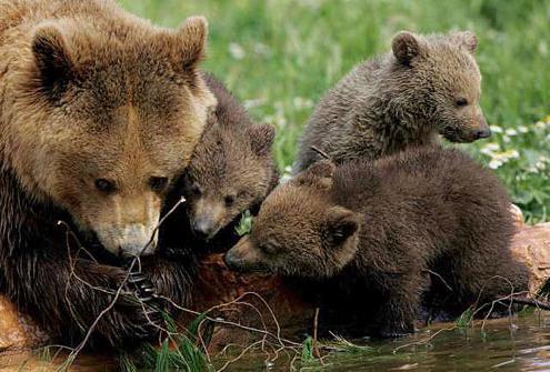 велики смеђи медвед