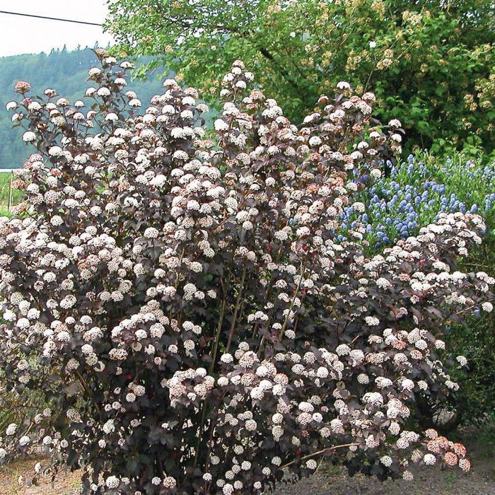 Descrizione Physocarpus Diablo