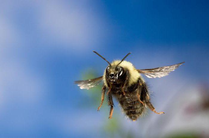 колко бързо може да лети пчела