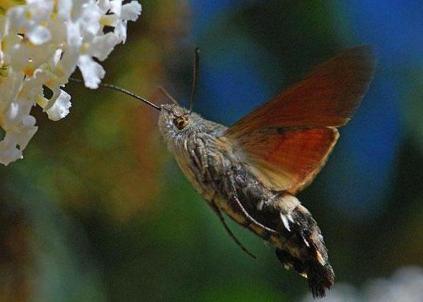 sokolovi moljci