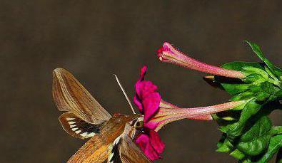 vrste leptira
